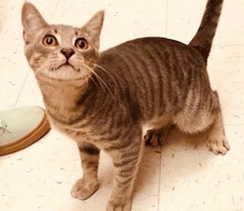 [picture of Simpkin, a Domestic Short Hair silver tabby\ cat]