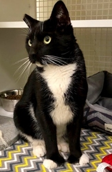 [picture of Bigfoot, a Hemmingway Polidactyl black/white cat]