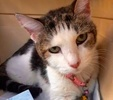 A picture of #ET02657: Misses a Domestic Short Hair white/brown tabby
