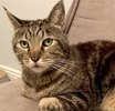 A picture of #ET02658: Gravy Boat a Domestic Short Hair brown tabby