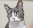 A picture of #ET02659: Chance a Domestic Short Hair silver tabby/white