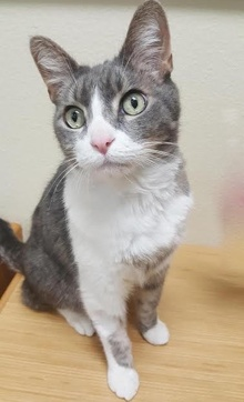 [another picture of Chance, a Domestic Short Hair silver tabby/white\ cat]