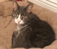 [picture of Chance, a Domestic Short Hair silver tabby/white cat]