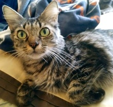 [picture of Iva, a Hemmingway Polidactyl gray tabby\ cat]