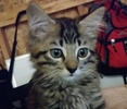 A picture of #ET02664: Milo a Ragdoll Mix gray tabby
