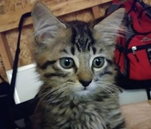 [picture of Milo, a Ragdoll Mix gray tabby\ cat]