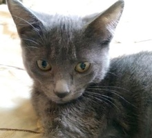 [picture of Little Fiona, a Russian Blue Mix blue\ cat]