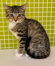 [another picture of Peach, a Hemmingway Polidactyl gray tabby/white\ cat]