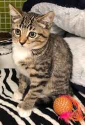 [picture of Peach, a Hemmingway Polidactyl gray tabby/white cat]