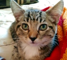 [picture of Peach, a Hemmingway Polidactyl gray tabby/white\ cat]