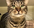 A picture of #ET02673: Gus a Domestic Short Hair brown tabby