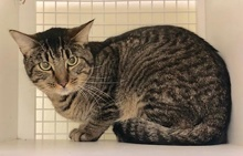 [picture of Gus, a Domestic Short Hair brown tabby cat]