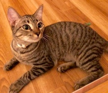 [another picture of Peanut, a Domestic Short Hair brown tabby\ cat]