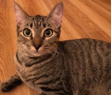 [picture of Peanut, a Domestic Short Hair brown tabby\ cat]