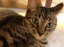 [picture of Praline, a Domestic Short Hair gray tabby\ cat]