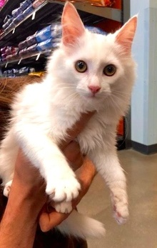[another picture of Zaazaa, a Turkish Van Mix white\ cat]
