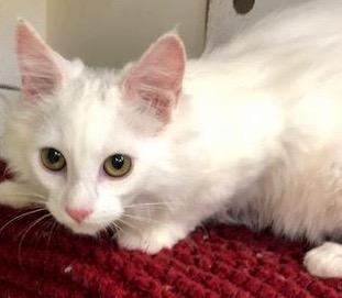 [picture of Zaazaa, a Turkish Van Mix white\ cat]