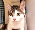 A picture of #ET02678: Zanders a Turkish Van Mix gray tabby/white