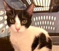 A picture of #ET02679: Cookie a Domestic Short Hair black/white cow