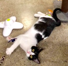 [another picture of Cookie, a Domestic Short Hair black/white cow\ cat]