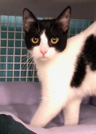 [picture of Cookie, a Domestic Short Hair black/white cow cat]