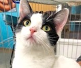 A picture of #ET02680: Milana a Domestic Short Hair white/black
