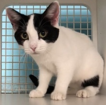 [picture of Milana, a Domestic Short Hair white/black cat]