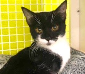 [picture of Teacake, a Domestic Short Hair black/white tuxi\ cat]