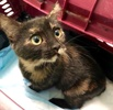 A picture of #ET02682: Eirini a Domestic Short Hair tortie