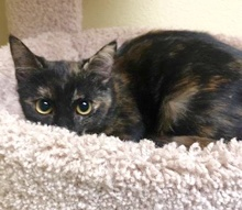 [another picture of Eirini, a Domestic Short Hair tortie\ cat]