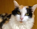 A picture of #ET02683: Cylissa a Domestic Long Hair calico
