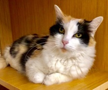 [another picture of Cylissa, a Domestic Long Hair calico\ cat]