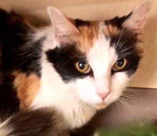 [picture of Cylissa, a Domestic Long Hair calico\ cat]