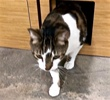 A picture of #ET02684: Robbie a Maine Coon-x brown tabby/white front declawed