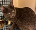 A picture of #ET02686: Abby a Russian Blue Mix blue