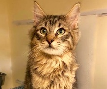 [picture of Lucky, a Maine Coon-x brown tabby\ cat]