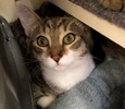 A picture of #ET02688: Luke a Domestic Medium Hair brown spot tabby/white
