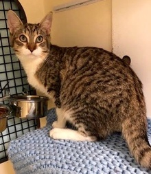 [picture of Luke, a Domestic Medium Hair brown spot tabby/white cat]