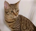 A picture of #ET02689: Poppy a Domestic Medium Hair brown tabby