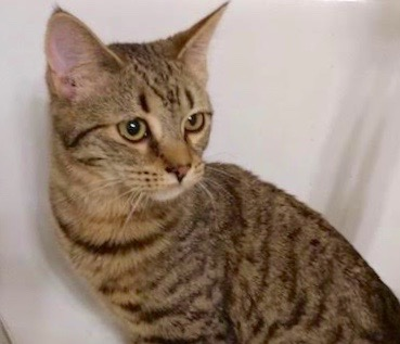 [picture of Poppy, a Domestic Medium Hair brown tabby\ cat]