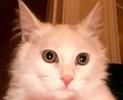 A picture of #ET02690: Josheroo a Ragdoll Mix white angora
