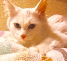 [picture of Josheroo, a Ragdoll Mix white angora cat]