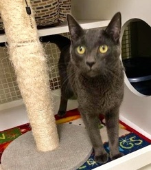 [another picture of Cadeau, a Russian Blue Mix blue\ cat]