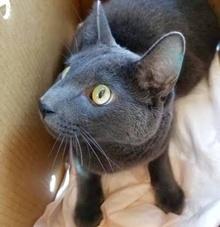 [picture of Cadeau, a Russian Blue Mix blue\ cat]