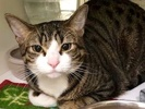 A picture of #ET02693: Trouble a Domestic Short Hair brown spot tabby/white