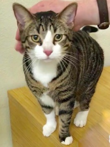 [another picture of Trouble, a Domestic Short Hair brown spot tabby/white\ cat]