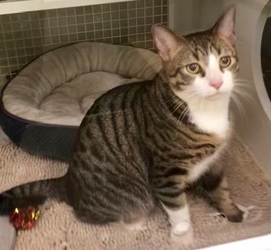 [picture of Trouble, a Domestic Short Hair brown spot tabby/white cat]