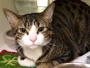 [picture of Trouble, a Domestic Short Hair brown spot tabby/white\ cat]