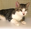 A picture of #ET02694: Slick a Domestic Short Hair brown spot tabby/white