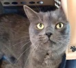A picture of #ET02695: Monkey a Russian Blue Mix blue